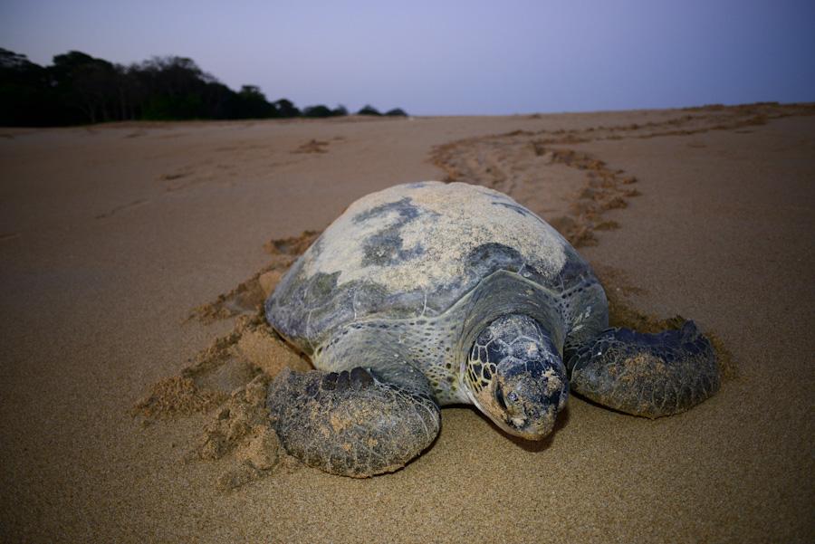 Tortuga verde (Chelonia mydas) regresando al mar al amanecer después de realizar la puesta de huevos en la isla de Poilao.
